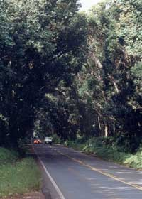 Koloa Tree Tunnel, on south Kauai's county route 520